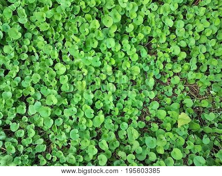 beautiful green Dichondra repens grass spread on ground