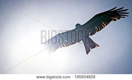 Black kite spread wings flying in the blue sky across the sun