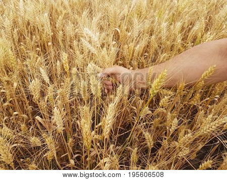 Wheat ears in the farmer's hands against the background of the field. Harvesting of barley and cereals. Agricultural theme. Hands with ears.