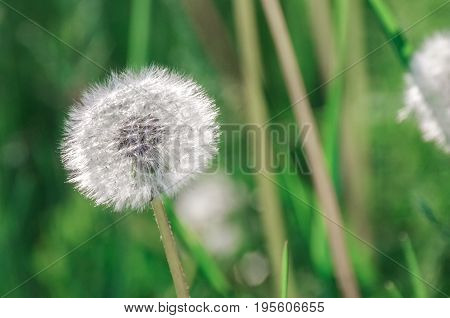 Dandelion blowballs in the morning sunlight on a fresh green background
