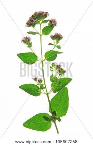 Oregano or wild marjoram (Origanum vulgare) flowering plant isolated against white background