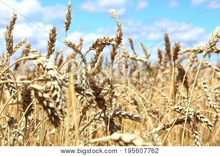 Wheat field in summer before harvesting close up