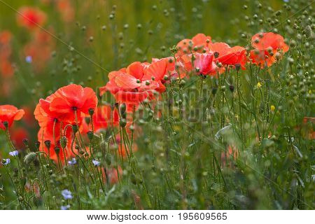Poppies and flax seed at Etretat, a commune in the Seine-Maritime department in the Normandy region of north western France
