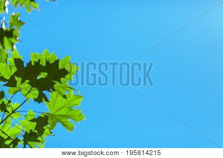 Beautiful fresh green leaves on a saturated blue sky background. Amazing colorful foliage. Bright spring spacious wallpaper. Environment, nature, ecology concept.