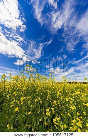 Landscape in the rape field in summer