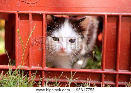 Cute black and white kitten is looking through the window of a box