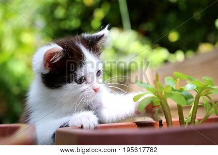 Cute black and white kitten is playing with a green plant