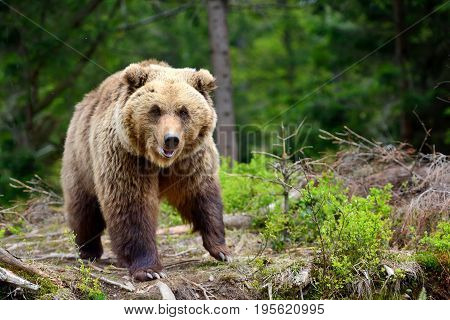European Brown Bear In A Forest Landscape At Summer. Big Brown Bear In Forest.