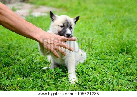 A Beautiful Siberian Laika Puppy Playfully Gnaws His Hand