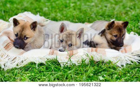 Cute Siberian Laika Puppies On The Blanket