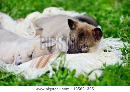 Two Cute Siberian Laika Puppies On The Blanket