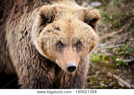 Brown Bear Portrait. Big Brown Bear In Forest.