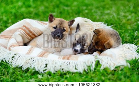Three Cute Siberian Laika Puppies On The Blanket