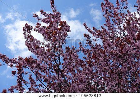 Prunus Cerasifera Pissardii In Flower Against Blue Sky