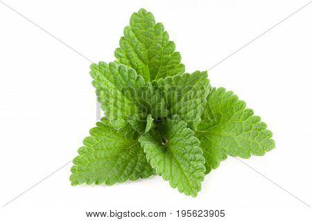 Green lemon balm leaf or Melissa officinalis isolated on white background