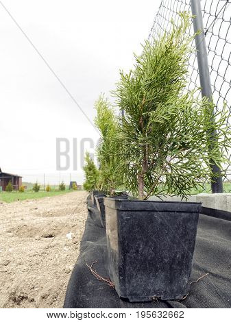 Rows of young thuja trees ready to be planted in the garden