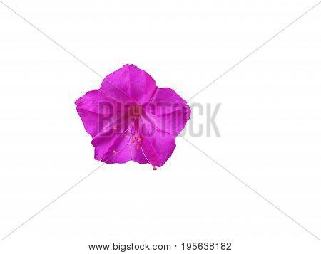 beautiful purple petunia flower  on white background