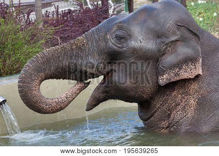Asian elephant (Elephas maximus) bathing.