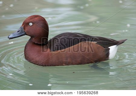 Ferruginous duck (Aythya nyroca), also known as the ferruginous pochard.