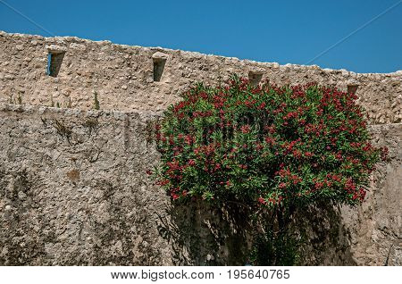 View of alley with stone wall and flowered bush in Saint-Paul-de-Vence, a lovely well preserved medieval hamlet near Nice. In Alpes-Maritimes department, Provence region, southeastern France