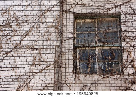 Abandoned building with dry creeper on window.