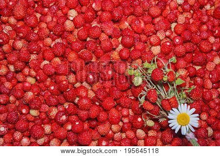 Summer food background created from a scattering of ripe strawberries. Juicy ripe wild strawberries. For any design, Wallpaper, poster. Studio light. Lots of fresh berries on the table.