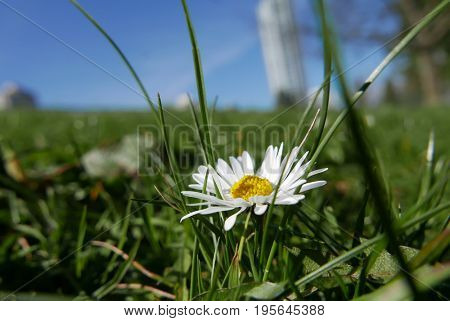 One wild chamomile flower on a field