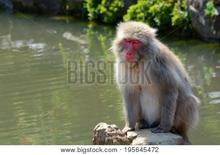 Japanese macaque monkey with a very relaxed expression enjoying some sun by a pond