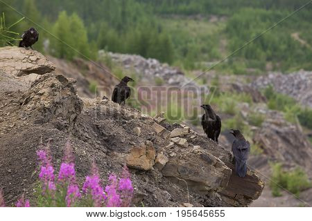 Four ravens sit on a brown cliff