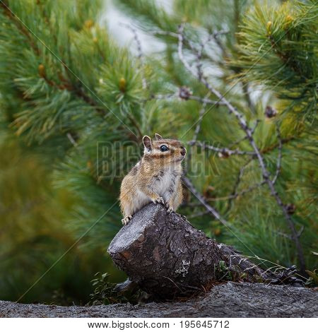 Chipmunk sits on a stump in the background of coniferous plants