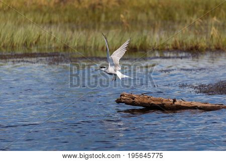The gull takes off from the logs on the lake