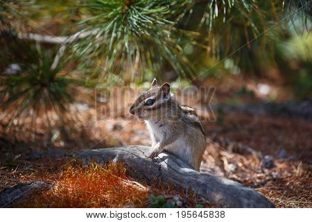 Chipmunk sits near the tree trunk in a small clearing in the background of coniferous branches
