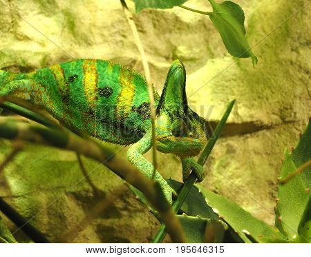 Chameleon in the green sitting on the branch