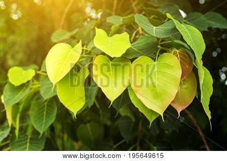 fresh Bo leaf background with sunlight copy space
