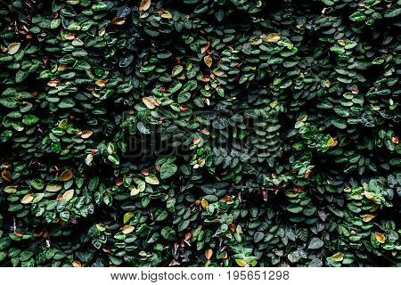Low Key nature of fresh ivy background.