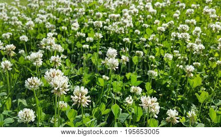 Close up of beautiful white clover on a summer meadow