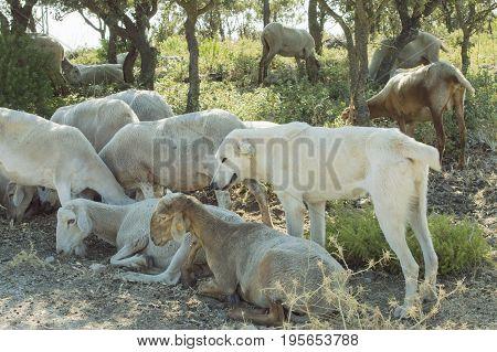 A shepherd dog guarding a sheep flock