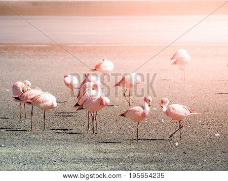 Pink flamingos at saline lake Laguna Hedionda, Andean Altiplano, Bolivia, South America.
