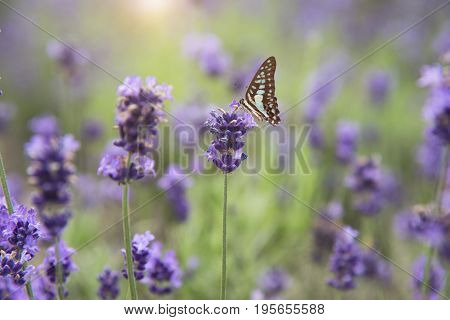 beautiful butterfly and violet lavender flower field in garden.