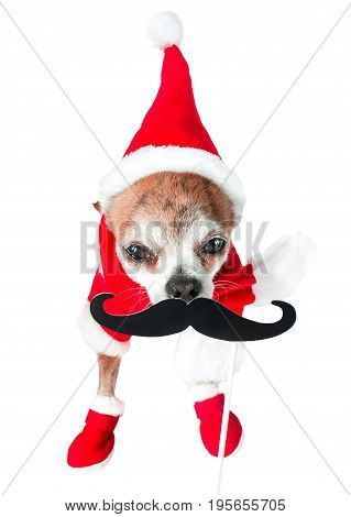 Cute dog chihuahua in santa claus costume with black fake mustache on isolated white background. Chinese New Year 2018 The Year of the Dog