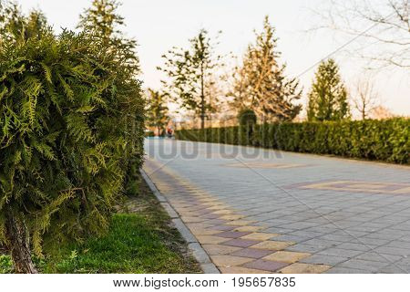 Cypress on the blurred background of the park path paved with brickwork.