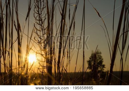 Silhouette sunset with sunlight shining through of a close-up of savannah grass