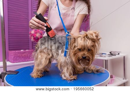 Cropped Shot Of Professional Young Groomer Trimming Yorkshire Terrier Dog With Trimmer