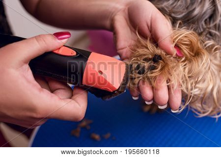 Close-up Partial View Of Groomer Trimming Paw Of Small Furry Dog