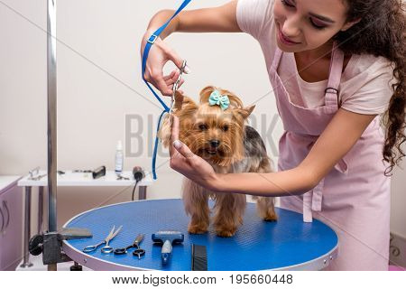 Smiling Young Groomer In Apron Holding Scissors And Cutting Fur Of Cute Yorkshire Terrier Dog