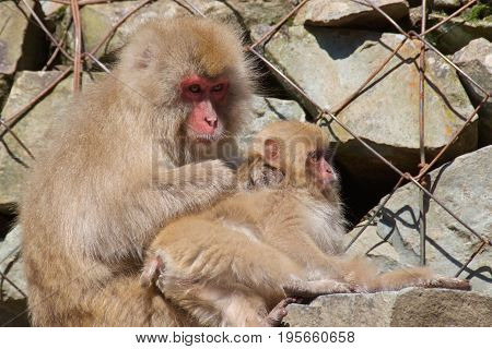 Japanese macaques mother searching child for fleas in Nagano, Japan