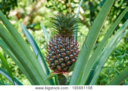 Growing pineapple on the plant, tropical fruit from the Mekong Delta, Vietnam