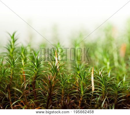 Moss With Sporophytes