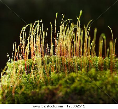 Dew And Growing Moss