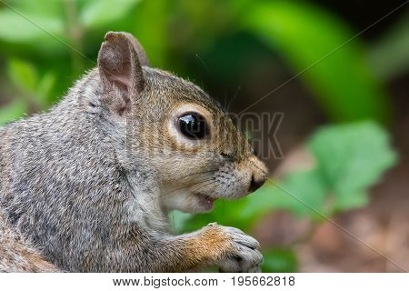 Sciurus carolinensis, common name eastern gray squirrel or grey squirrel depending on region, is a tree squirrel in the genus Sciurus. It is native to eastern North America, where it is the most prodigious and ecologically essential natural forest regener poster